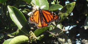 cropped-butterfly-0011.jpg